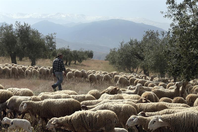 El Generalife recupera su pasto con un rebaño monumental.