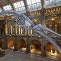 El esqueleto de una colosal ballena azul de 1891 da la bienvenida al Museo de Historia Natural de Londres