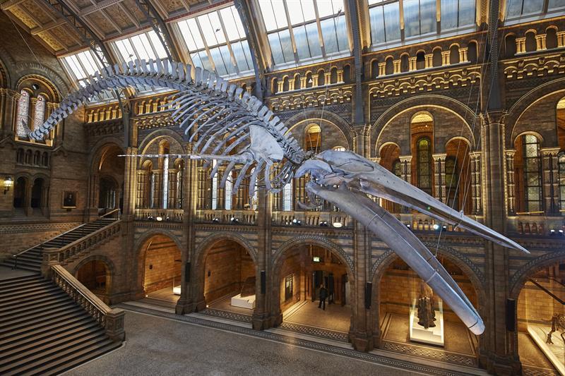 El esqueleto suspendido de una colosal ballena azul de 1891 que dará la bienvenida a partir de mañana a los visitantes del Museo de Historia Natural de Londres