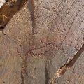 El grabado de una cabra pirenaica, nueva joya rupestre del Côa luso